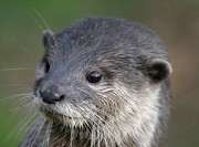 Close up of captive otters