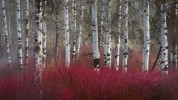 Dogwood and Aspen