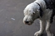 Old English Sheepdog with humble look in his face