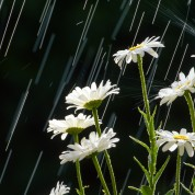 White Daisies in the Rain