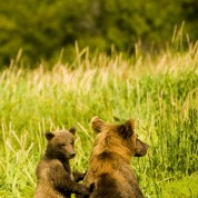 Alaska, Katmai National Park, Brown Bear mother and cub on the lookout.
