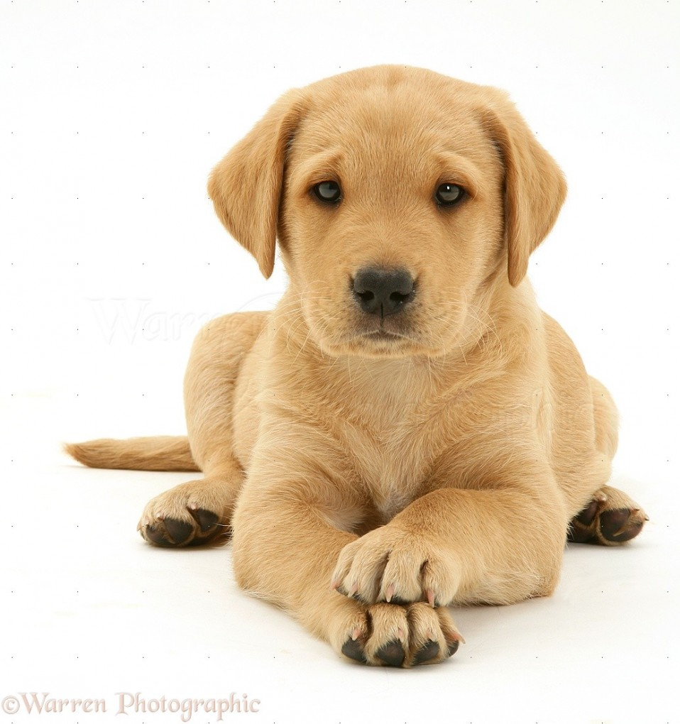 Yellow Labrador Retriever pup, 8 weeks old, lying with paws crossed