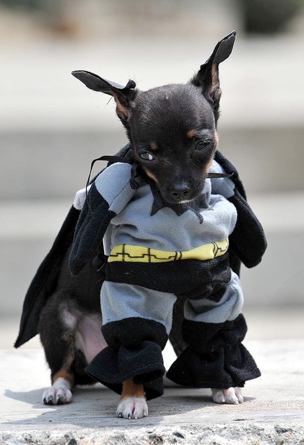 A dog dressed as Batman participates in the Family Pet festival on October 25, 2009 in Cali, department of Valle del Cauca, Colombia. AFP PHOTO/Luis ROBAYO (Photo credit should read LUIS ROBAYO/AFP/Getty Images)